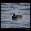 Surf Scoter-male -Princeton(Pillar Point Harbor)