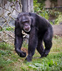 Chimpanzee 10-20-10