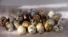 Japanese quail eggs 11-20-10
