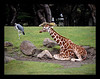Marabou Stork and Reticulated Giraffe-FF 7-8-10