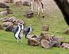 7-8-10 Marabou Storks