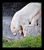 1-10-11 Polar Bear