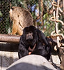 Male Howler Monkey 10-8-10