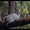Guineafowl 3-27-14