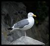 Western Seagull