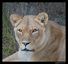 Sukari-Female African Lion