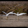 Snowy Egrets-Princeton(Pillar Point Harbor)
