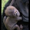 Baby Girl Gorilla