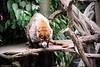 White-Nosed Coati 7-17-10