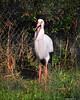 2-5-11 marquari Stork
