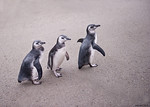 5x7 8-10-10-march of the Magellanic penguin