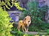 2-7-11 African Lion-Tunya
