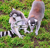3-4-11 Ring Tailed