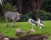Grant Zebra with Marabou Storks 10-3-10