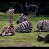 Two month Baby giraffe-female