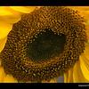 Calling all pollen jockeys. Photos by May Woon — at San Francisco Zoo.